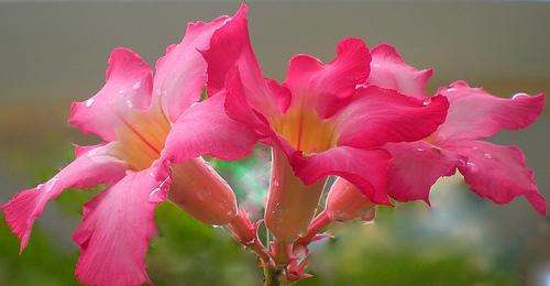 rose-flower-10