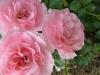 rose-flower-14_0