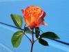 rose-flower-3