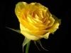 rose-flower_www-free-wall-paper-com-28